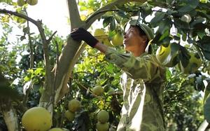 Không trồng vải, lão nông ở Lục Ngạn thu tiền tỷ từ loại cây có múi được trồng theo hướng hữu cơ