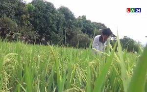 Long An: Lão nông với giống lúa TC7 thách thức xâm nhập mặn