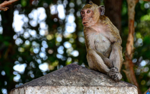 Tây Ninh: Lạ đời, vào rừng nuôi...khỉ không công