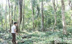 Chuyện ly kỳ về rừng lim cổ thụ, dân không dám nhặt củi khô, lỡ lấy gỗ làm nhà không ở được