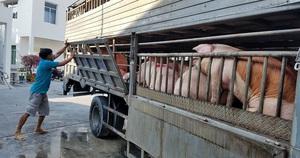 Giá heo hơi hôm nay 12/6: Chính thức nhập lợn sống từ Thái Lan, giá heo giảm sâu