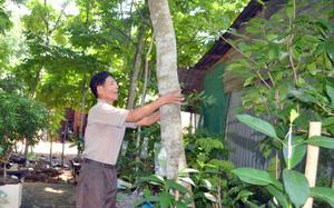 Bình Phước: Ông nông dân trồng loại cây cực quý, bán một cây tậu được mấy...lượng vàng 9999