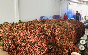 113 thương nhân Trung Quốc mua vải thiều, Bắc Giang đã bán được 130.000 tấn vải giá cao