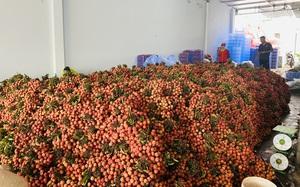 137 thương nhân Trung Quốc, 300 điểm cân gom 77.000 tấn vải thiều đưa sang biên giới