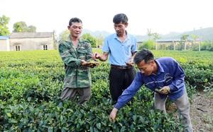 Thái Nguyên: Nông dân khốn khổ vì tin lời đại lý vật tư nông nghiệp phun thuốc diệt cỏ lên nương chè