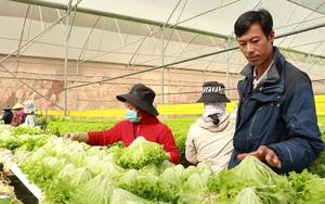 Giá rau Đà Lạt tăng cao kỷ lục, xà lách lên 50.000 đồng/kg, thương lái tranh mua, nhà vườn hụt hẫng