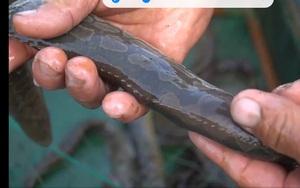 Quảng Ngãi: Ngắm đàn cá chạch lấu nhung nhúc tươi roi rói nuôi lồng giữa sông Trà Khúc