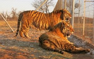 Xâm nhập đường dây buôn bán hổ xuyên quốc gia: Cao hổ - sự thật đắng lòng từ châu Phi (Kỳ 4)