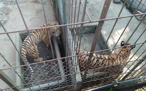Xâm nhập đường dây buôn bán hổ xuyên quốc gia: (kỳ cuối): Cần gắn chíp theo dõi hổ nuôi nhốt