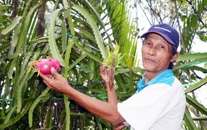 Thanh long trồng ở vùng nước ngập mặn cho ra vị kỳ lạ: giòn, ngọt mà lại thoang thoảng hương nhãn