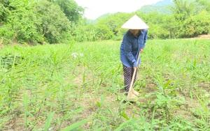 Bắc Kạn: Hàng trăm hộ nông dân khốn khổ, ôm nợ vì gừng dự án... không chịu mọc