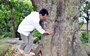 Chuyện bất ngờ về cây mít đại lão cổ thụ đất Bình Liêu, có năm cả làng hái quả ăn không hết
