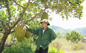 """Nghệ An: Đùng đùng bỏ về quê trồng mít Thái, ai đi qua cũng khen """"trái siêu to khổng lồ"""""""
