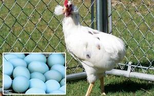 Bí ẩn về loài gà lạ dáng đẹp, không đuôi, lại đẻ sòn sòn ra trứng màu tới 240 quả/năm