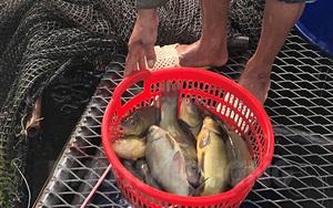 """Loài cá lạ thơm mùi quế rất khó nuôi thế mà 1 nông dân Hải Dương """"liều"""" nuôi 100 lồng, bắt hàng chục tấn?"""