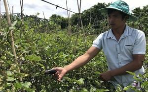 """Gia Lai: Rõ khổ, nghe """"lời đường mật"""" trồng cà tím, nông dân mệt mỏi """"tím cả mặt mày"""""""