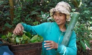 Loại lá đặc sản này ngon cỡ nào mà dân Bình Thuận phải vượt rừng cả chục kilomet tìm kiếm