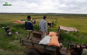 Clip: Dân làng ào ra đồng giúp thu hoạch lúa một thôn khác bị phong toả do covid-19