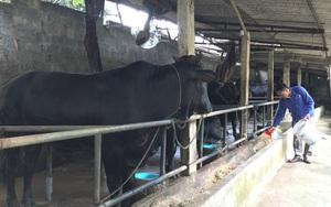 """Nuôi những con bò lạ đặc sản, to """"khổng lồ"""" thế này, nông dân Hà Nội làm giàu được là cái chắc"""