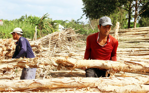 Cà Mau: Lạ đời, cái chợ chỉ bán duy nhất một thứ cây đã chết ở xứ U Minh Hạ