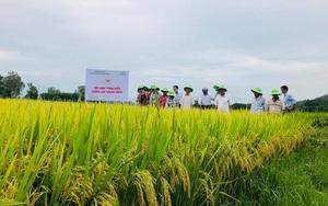 Quảng Ngãi: Cấy giống lúa mới của ThaiBinh Seed, bông nặng trĩu hạt, ai thấy cũng trầm trồ
