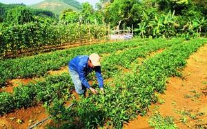 Vùng đất dân lên rừng Trường Sơn đem thứ rau lạ về vườn trồng, kiếm đều 5-7 triệu mỗi tháng