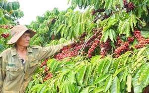 Xuất khẩu cà phê sang châu Âu: Thêm cơ hội, thêm trách nhiệm