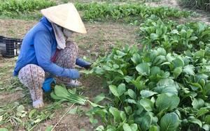 Đà Nẵng: Đáng buồn, hậu dịch Covid-19, 10 ngàn 3 bó rau rau to bự mà không ai mua cho nông dân
