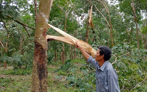 """Khốn khổ, bão số 5 quét qua, 1 xã của tỉnh Thừa Thiên Huế """"bay"""" mất 100 tỷ từ loài cây này"""