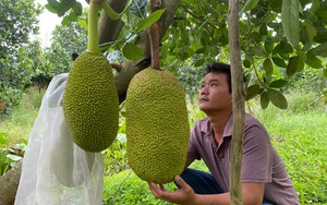 """Phát sốt với những vườn mít Thái siêu sớm của nông dân An Giang mỗi năm """"hái"""" ngon ơ vài trăm triệu đồng"""