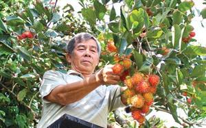 """Cà Mau: Lão nông đem chôm chôm về trồng đất phèn chua mặn, cây bén rễ, trái ngọt lừ chưa chín đã được """"đặt gạch"""""""