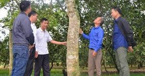 Tuyên Quang: Bất ngờ thành tỷ phú, giàu nhất vùng nhờ khổ công trồng 5.000 cây sưa 20 năm trước