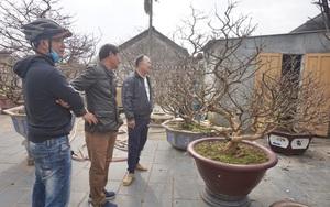 """Trồng cây chơi Tết 2021: """"Thủ phủ"""" trồng mai vàng đất Quảng Nam yên ắng, dân đang ngóng trông ai?"""