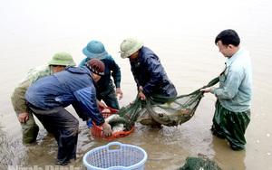 Ninh Bình: Độc đáo, nuôi cá chép trong ruộng lúa, chả cho ăn gì mà vài tháng sau bắt được toàn con to