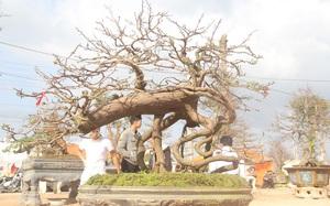 """Bình Định: Cận cảnh 2.000 gốc mai Tết có dáng thế độc lạ… ở """"thủ phủ"""" mai vàng miền Trung"""