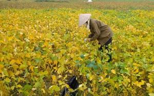 Chuyện lạ ở tỉnh Vĩnh Phúc: Nông dân hái lá đỗ tương bán 18.000 đồng/kg, sự thật hay chiêu trò của thương lái?