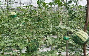 An Giang: Lạ lẫm với vườn trồng dưa hấu leo giàn, đẹp như phim, trái nào cũng căng tròn, ai ăn cũng khen nức nở