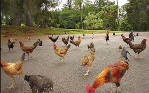 Ở vùng đất kỳ lạ, đi đến đâu cũng thấy toàn gà là gà