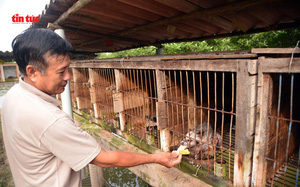 Cà Mau: Làm chuồng trên mặt nước nuôi loài thú trông như mèo mướp, hay đòi ăn chuối mà nông dân lời tiền tỷ