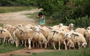 Ninh Thuận là tỉnh nuôi con gì nhiều nhất cả nước, có một ông nông dân nuôi tới 1.000 con nhiều nhất huyện Bác Ái