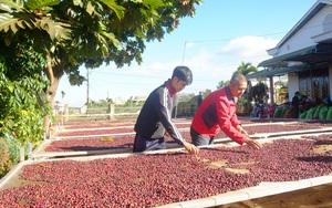 Nhiều nước thử nghiệm vaccine Covid-19, xuất khẩu cà phê được dự báo khởi sắc