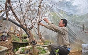 Chiêu lạ của ông nông dân Ninh Bình: Dùng nồi cơm điện... thuần phục cây mai vàng miền Nam trên đất Bắc