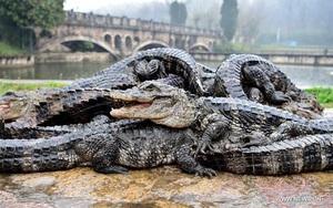 Cá sấu Dương Tử - loài cá sấu nhỏ nhất thế giới từng đứng trước nguy cơ tuyệt chủng