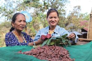 Lâm Đồng: Vô rừng đào củ Chi Kut, hái 27 thứ lá, rễ cây nhìn như cỏ dại, không ngờ là bài thuốc quý