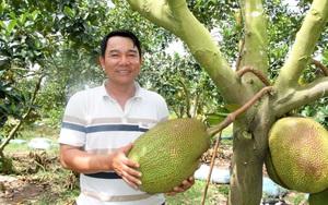 Vườn trồng mít Thái rộng 20ha của 1 ông nông dân tỉnh Đắk Lắk, bất ngờ những cây mít ra trái từ gốc lên ngọn