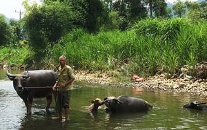 """Thái Nguyên: Vùng đất này có """"dị nhân"""" toàn nuôi trâu khủng, mua 30 triệu sau 4 tháng nuôi có con bán được 70 triệu"""