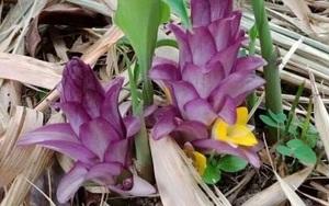 Phú Yên: Bông Gờ là loài cây gì mà ra hoa đã đẹp dịu dàng lại còn làm rau đặc sản ví như trời ban?
