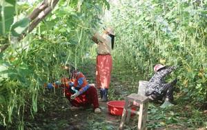 An Giang: Ruộng trồng đậu cô ve leo giàn đẹp như phim, trái ra quá trời, hái mỏi cả tay, thu được cục tiền to