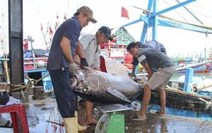 Khánh Hòa: Dân bắt được toàn cá lớn đầu năm, loài cá gì to dài phải 2-3 người khênh?
