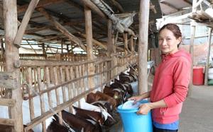 Lâm Đồng: Phu thê rủ nhau vô giữa vùng cà phê nuôi con 2 sừng có râu, ai đến xem cũng mê tít